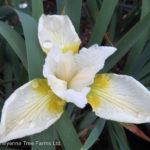 Iris Siberian – Butter & Sugar
