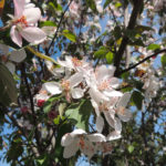 Courageous Flowering Crabapple