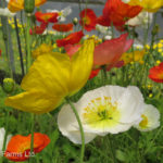 Champagne Bubbles Iceland Poppy