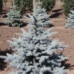 Spruce – Baby Blue