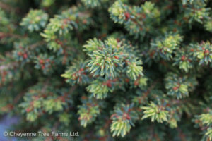 Little Gem Spruce