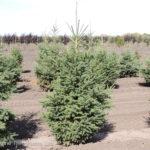 Spruce – White