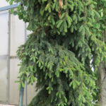 Spruce – White Weeping