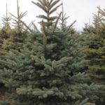 Spruce Colorado  – Blue or Green