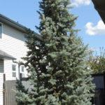 Spruce – Columnar Blue