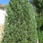 Pine – Swiss Stone