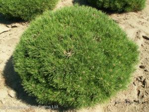 Mops Dwarf Mugho Pine