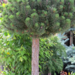 Dwarf Mugo Pine