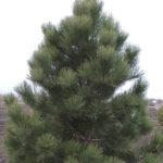 Pine – Ponderosa