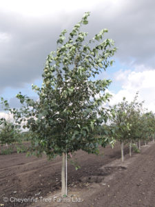 Northwest Poplar