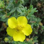 Potentilla – Yellow Gem