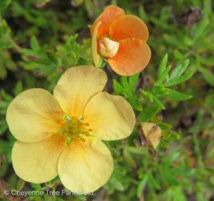 Potentilla fruticosa ORANGE WHISPER Potentilla Shrub Tree Nursery, Greenhouse & Garden Centre