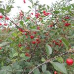 Cherry – Evans Sour Shrub