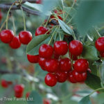 Cherry – Evans Sour Tree