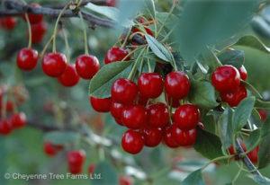 Cherry – Evans Sour Tree
