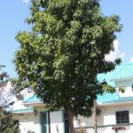Amur Cherry – Goldspur
