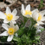 Pasque Flower – White