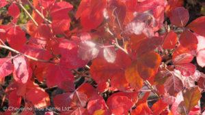 Rhus aromatica GRO LOW Fragrant Sumac Shrub Tree Nursery, Greenhouse & Garden Centre