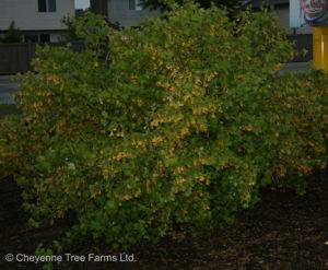 Currant – Golden Flowering