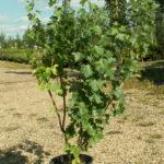 CTF Ribes aureum GOLDEN Flowering Currant Shrub Tree Nursery, Greenhouse & Garden Centre