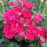 Adelaide Hoodless Parkland Rose