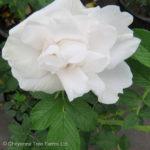 Rose Rugosa – Blanc de Coubert
