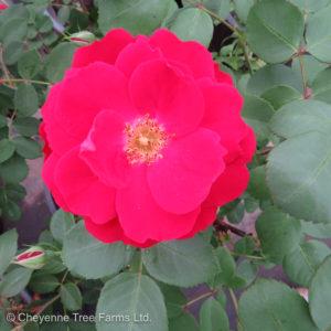 Champlain Explorer Rose