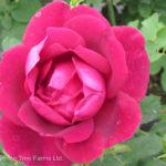 Cuthbert Grant Parkland Rose