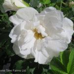 Henry Hudson Rose