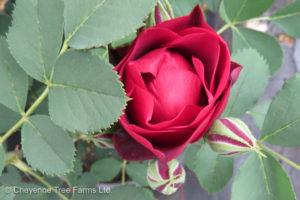 Hope for Humanity Parkland Rose