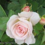 Rose Parkland – Morden Blush