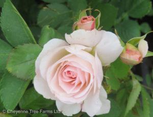 Morden Blush Parkland Rose