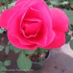 Morden Cardinette Parkland Rose