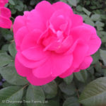 Morden Centennial Parkland Rose