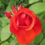 Morden Fireglow Parkland Rose