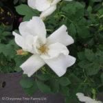Morden Snowbeauty Parkland Rose