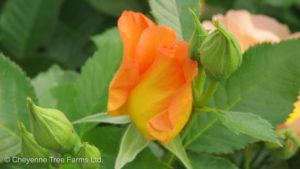 Morden Sunrise Parkland Rose