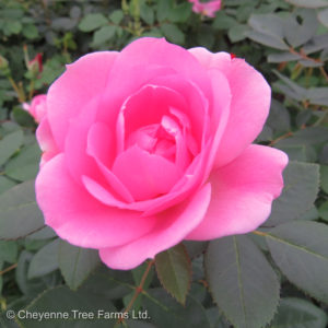 Prairie Joy Prairie Series Rose