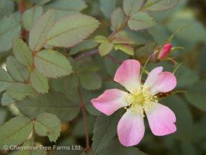 Red Leaf Rose