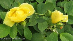 Rosa TOPAZ JEWEL Rose Shrub Beaumont, Alberta Edmonton, Alberta Tree Nursery, Greenhouse & Garden Centre