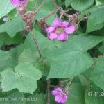 Raspberry – Flowering Ornamental
