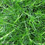 Moss – Irish