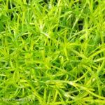 Moss – Scotch