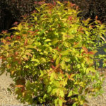 Spirea – Goldflame