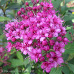 Dart's Red Spirea