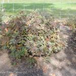 CTF Spiraea betufolia TOR Birchleaf Spirea Shrub Beaumont, Alberta Edmonton, Alberta Tree Nursery, Greenhouse & Garden Centre