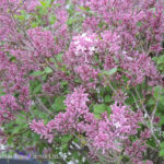 Lilac – Tinkerbelle  Shrub or Top Graft