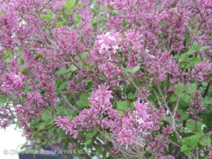 Tinkerbelle Lilac