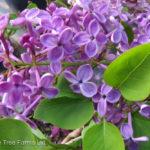 Pocahontas Lilac