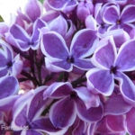 Sensation French Hybrid Lilac